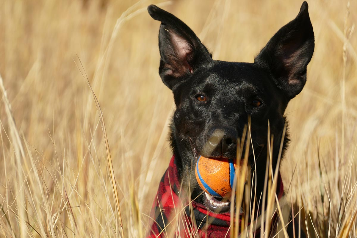 black dog with ball in mouth